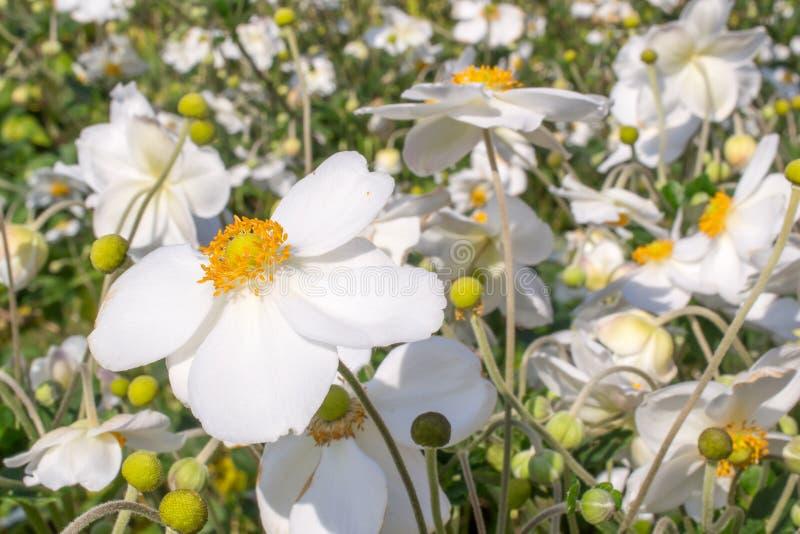 Anemone hybrida honorine jobert Blumen stockbilder