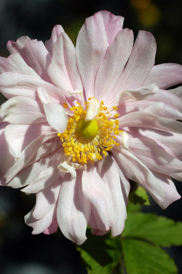 Download Pale pink Anemone flower stock photo. Image of closeup - 304648