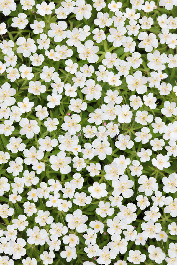 Anemone japonês branco imagem de stock royalty free
