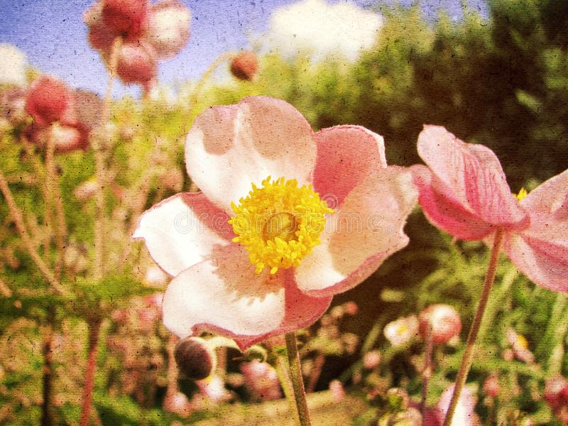 Anemone Japonica royalty-vrije illustratie