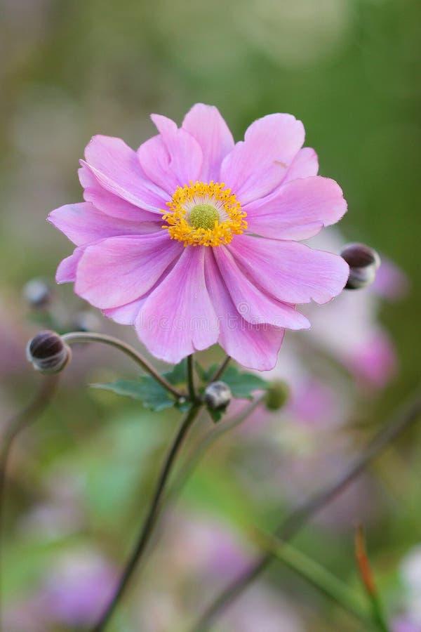 Anemone Japonica immagine stock