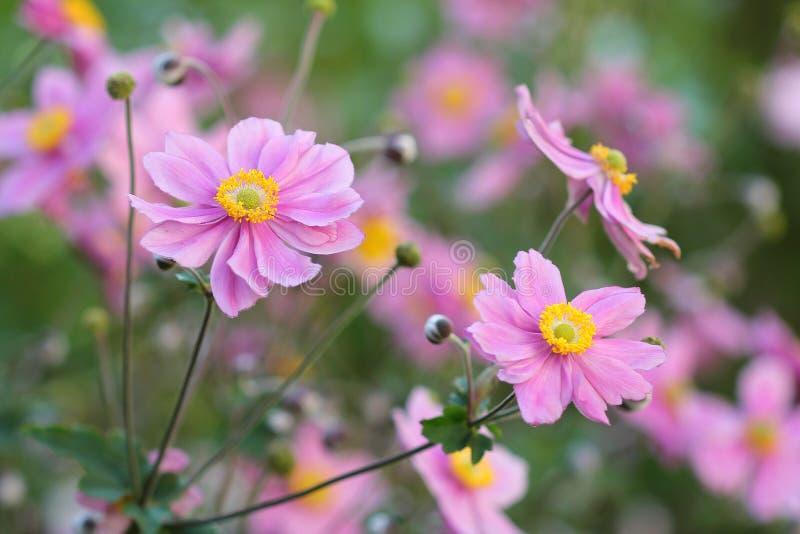 Anemone Japonica imagen de archivo libre de regalías