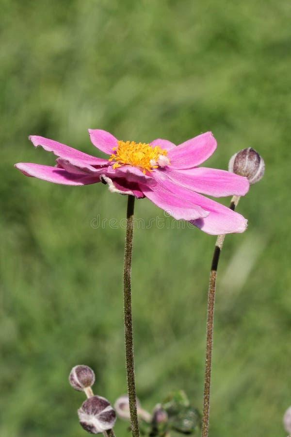 Anemone Japonica fotos de archivo libres de regalías