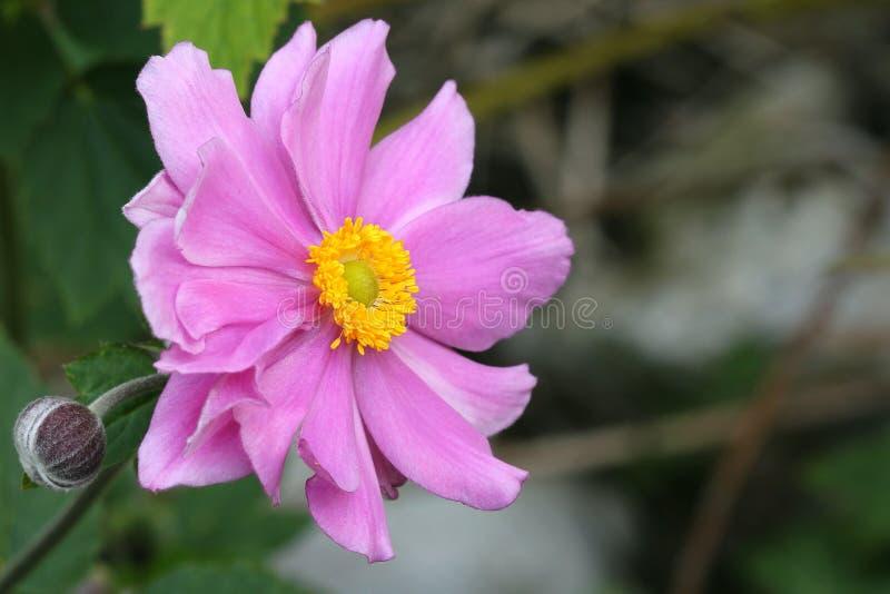 Anemone Japonica fotografía de archivo