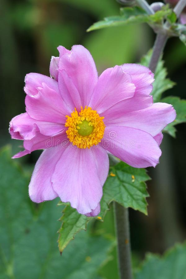 Anemone Japonica foto de archivo libre de regalías