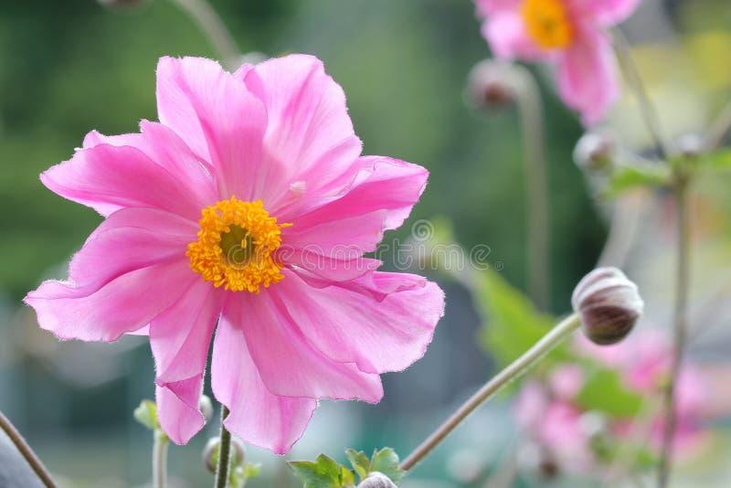 Anemone Japonica stockbilder