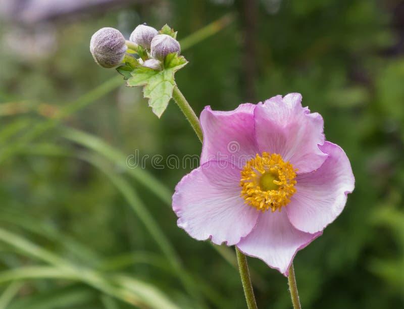 Anemone Japonica foto de archivo