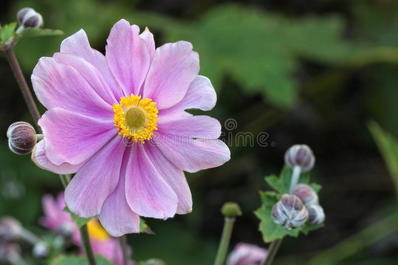 Anemone japonica. Closeup of pink anemone japonica stock photo