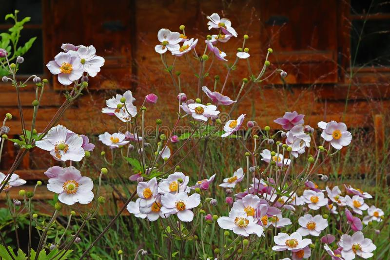 Anemone japonica vor Bauernhofhaus stockfoto