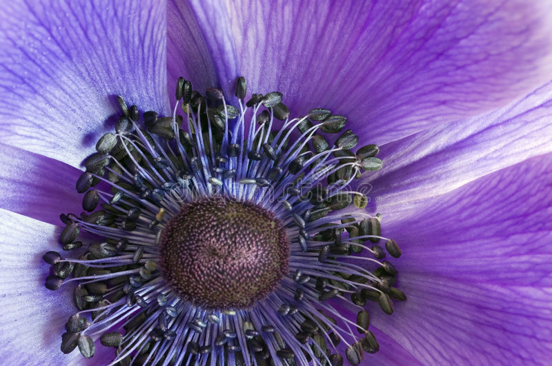 Anemone macro royalty free stock photo