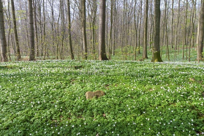 Anemone na floresta imagens de stock royalty free