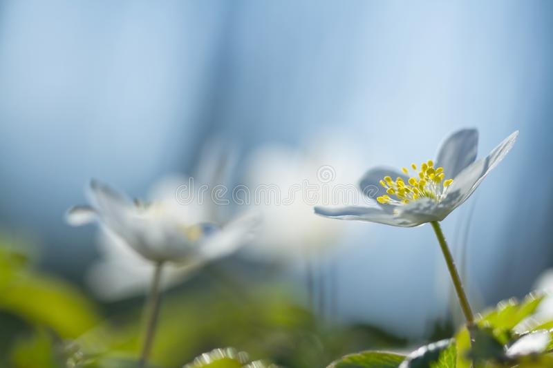Anemone nemerosa, macro of a beautiful spring forest flower. Wood anemone Anemone nemorosa flower with soft focus. View of magic blooming spring flowers royalty free stock photography