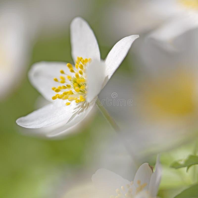 Anemone Nemorosa lizenzfreies stockbild