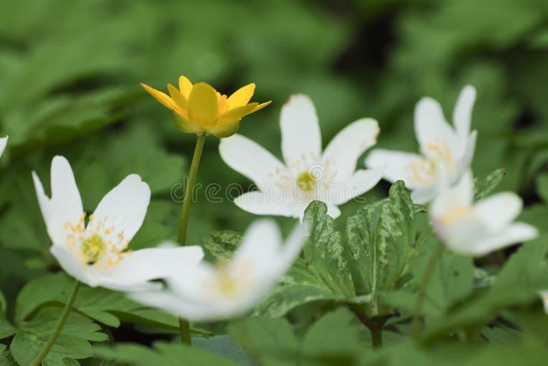 Anemone nemorosa Blume stockbilder