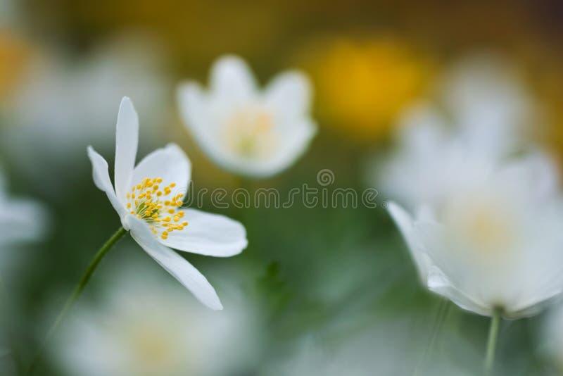 Anemone nemorosa Blume stockfotografie