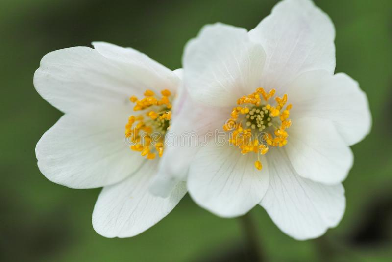 Anemone nemorosa Blume stockfoto