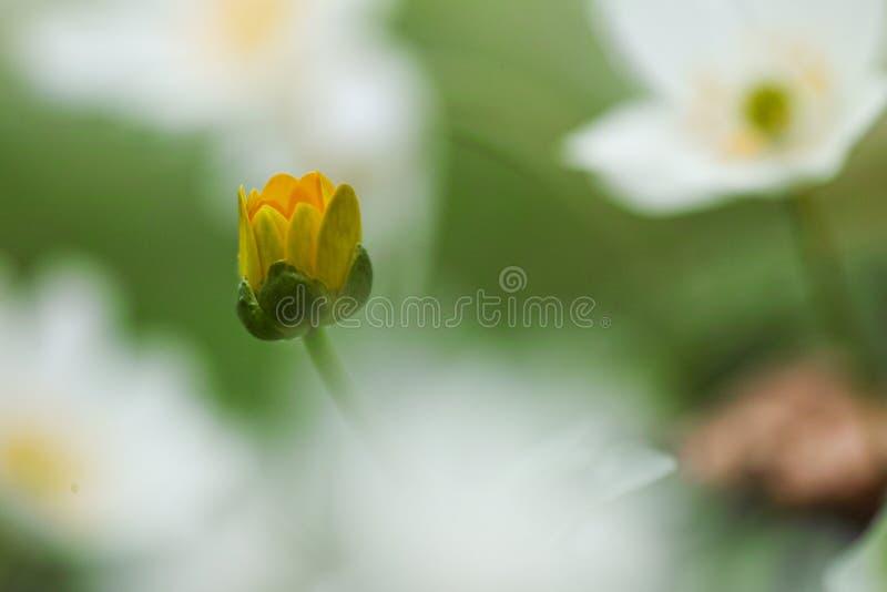 Anemone nemorosa Blume lizenzfreies stockfoto