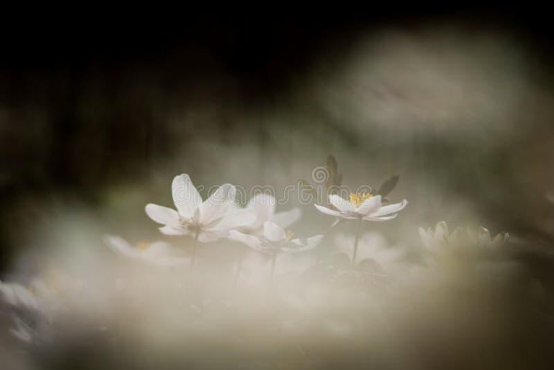 Anemone nemorosa Blume lizenzfreie stockfotos