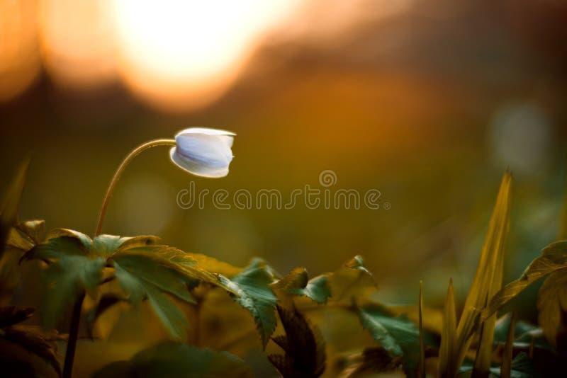 Anemone nemorosa - einzelne weiße Blume stockfotografie