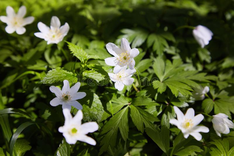 Anemone nemorosa flowers in the forest in a sunny day. stock images