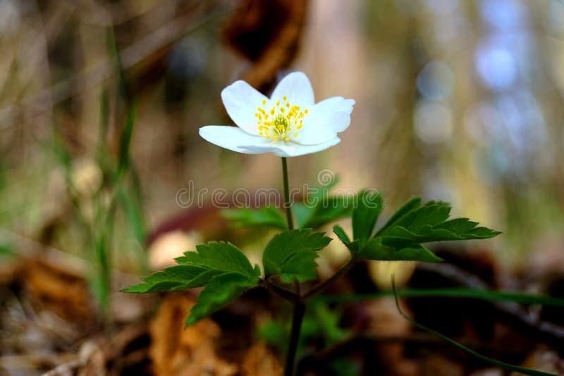 Anemone nemorosa - Frühlingsanlage lizenzfreie stockfotos