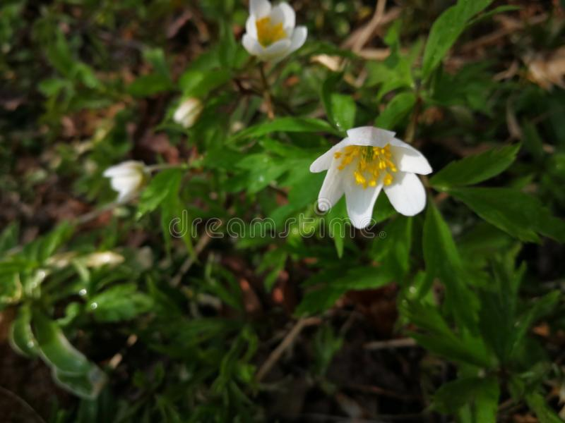 Anemone nemorosa Weiße Blume im Wald stockfotografie