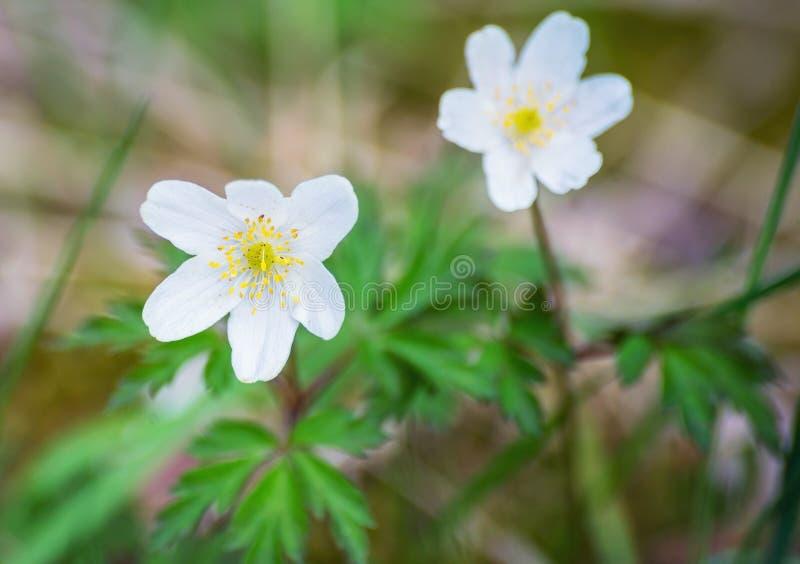Anemone nemorosa white spring wood forest flower stock photos