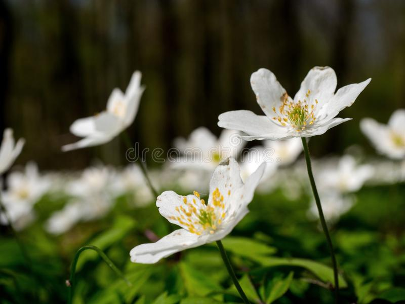 In the spring forest, blooming forests of anemone nemoras. An anemone nova in the April forest create carpets of white flowers royalty free stock images