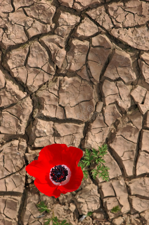 Free Anemone On A Cracked Mud Background Royalty Free Stock Images - 8259379