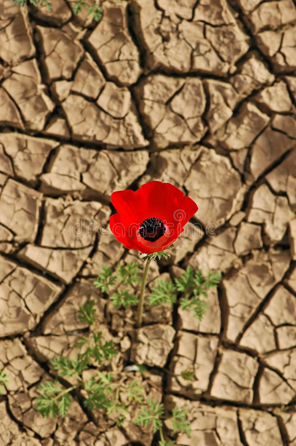 Free Anemone On A Cracked Mud Background Stock Photos - 8259433