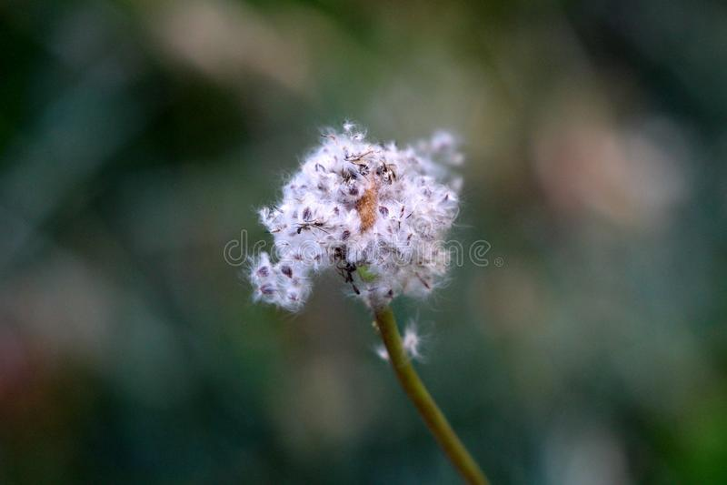 Anemone perennial plant with dried fluffy white seed head growing in local urban garden. On warm sunny spring day royalty free stock image