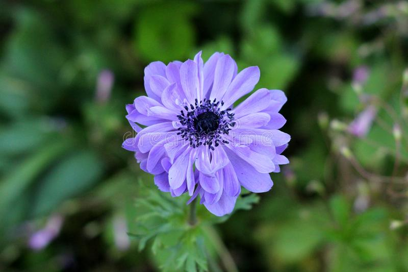 Anemone perennial plant with violet fully open blooming petals and dark black center planted in local urban garden. On warm sunny spring day stock photo
