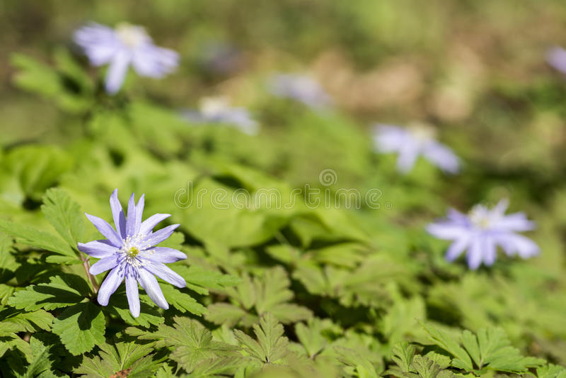 Anemone pseudoaltaica flower stock images
