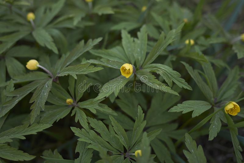 Anemone ranunculoides Blüte lizenzfreies stockfoto