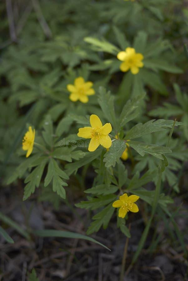Anemone ranunculoides Blüte stockbild