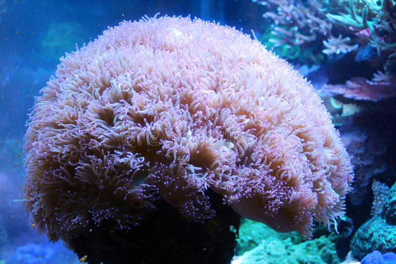 Anemone. Sea Anemone and Ocean Coral Reef stock photo