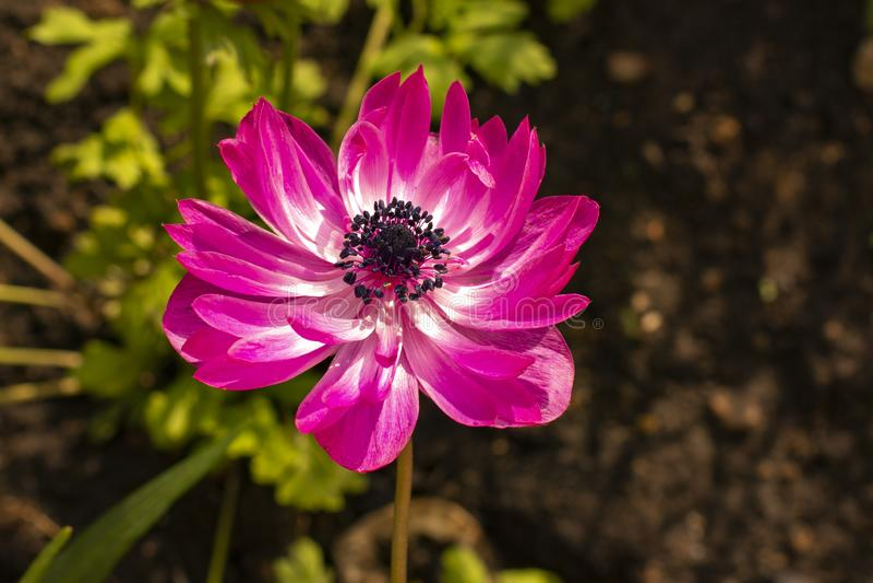 Anemone St Brigid Double Flowering de Admiraal royalty-vrije stock afbeelding