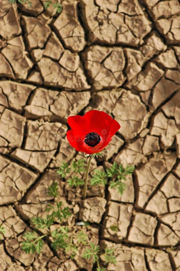 Anemone su una priorità bassa incrinata del fango fotografie stock