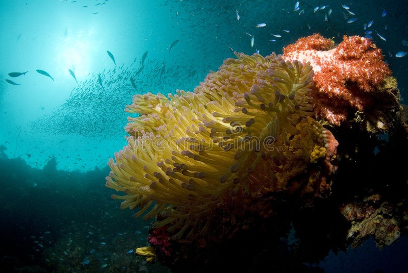 Anemone in Sun. The sun just barely reaches a coral encrusted steel exhaust pipe, home to a large sea anemone, while fish swarm in the thriving artificial reef royalty free stock photography
