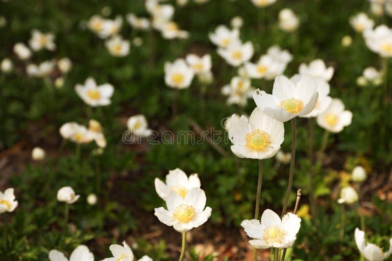 Anemone sylvestris stockbilder