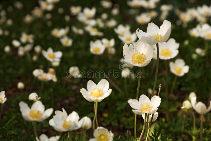 Anemone sylvestris lizenzfreies stockfoto