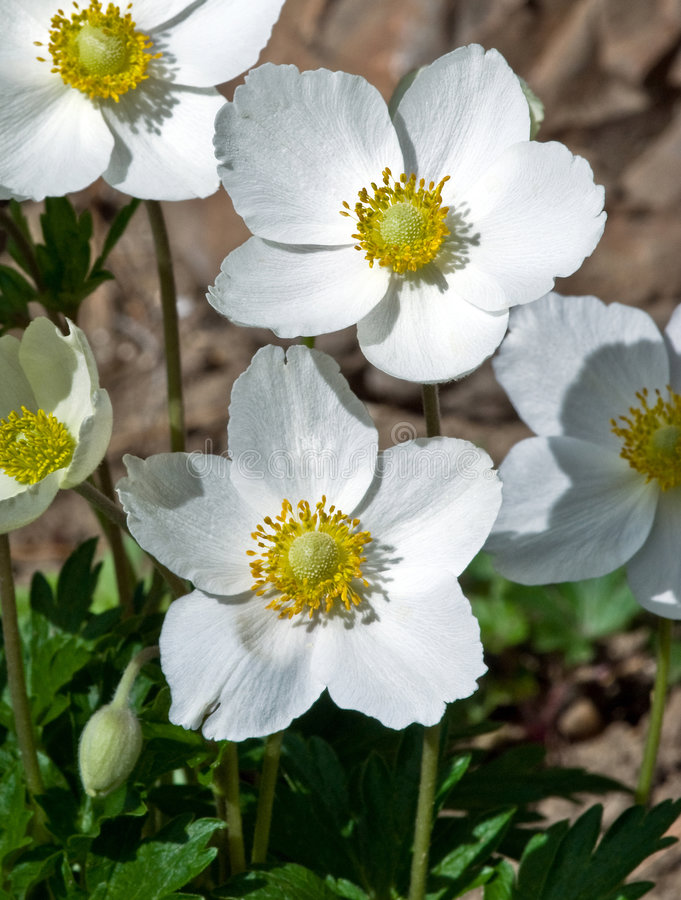 Anemone sylvestris. Common Names: Windflower, Snowdrop Anemone Closeup of a group of brilliant white with yellow anthers flowers of Snowdrop Anemone blooming on royalty free stock images