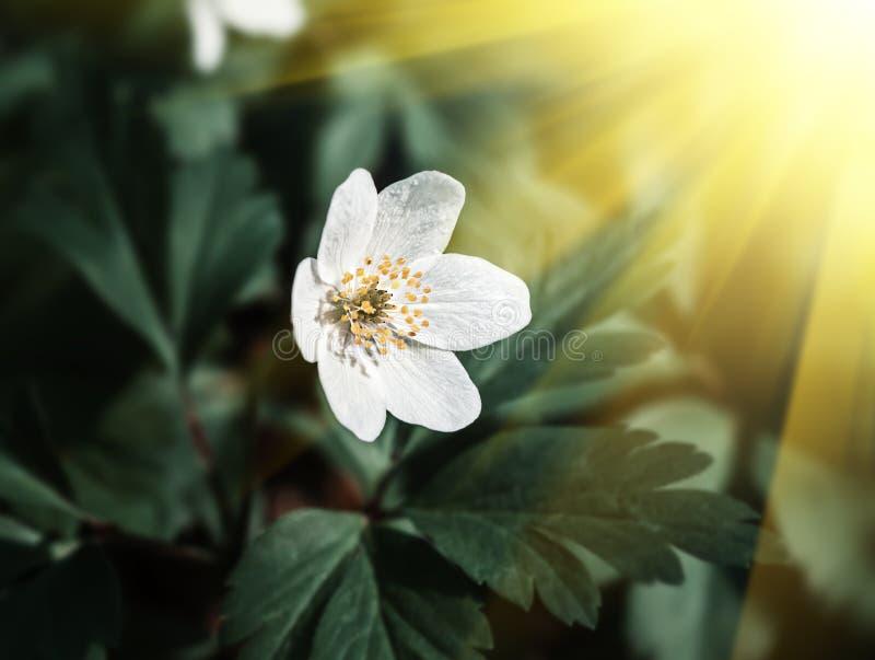 Anemone sylvestris. First spring flowers stock photos