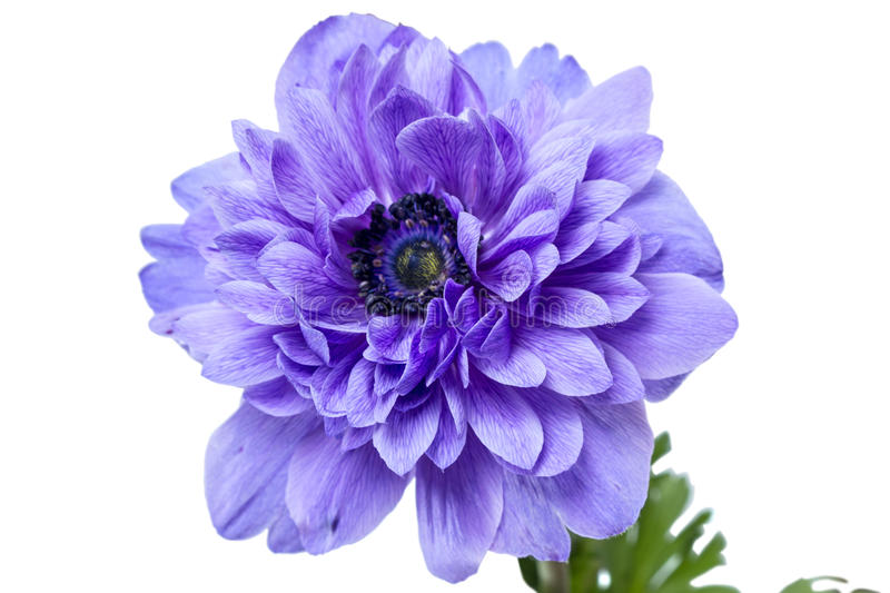 Anemone terry flower. Anemone is a genus of about 120 species of flowering plants in the family Ranunculaceae, native to temperate zones. Isolated on a white royalty free stock photo