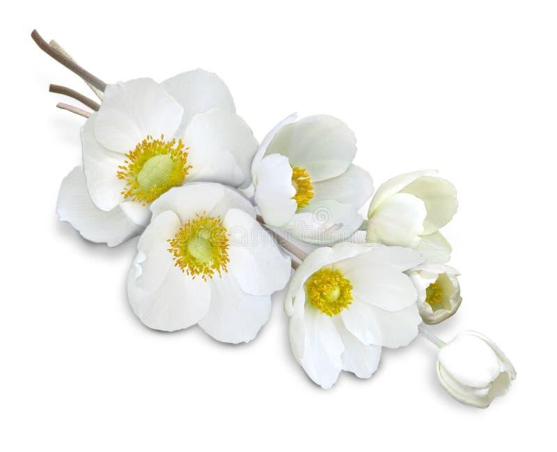 Anemone_white_flowers_isolated lizenzfreie stockbilder