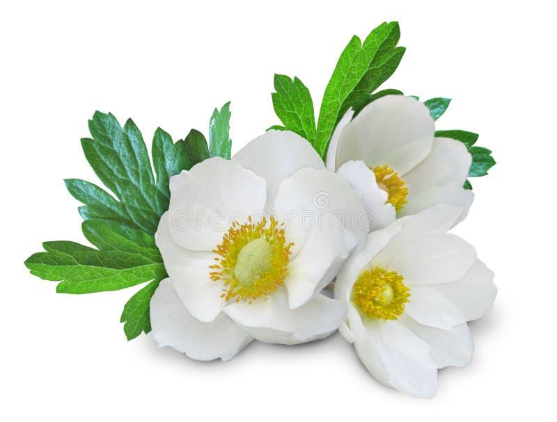 Anemone_white_flowers_isolated_2 imagens de stock