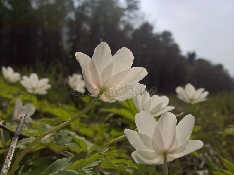 Anemone Windflower - von unterhalb lizenzfreies stockbild