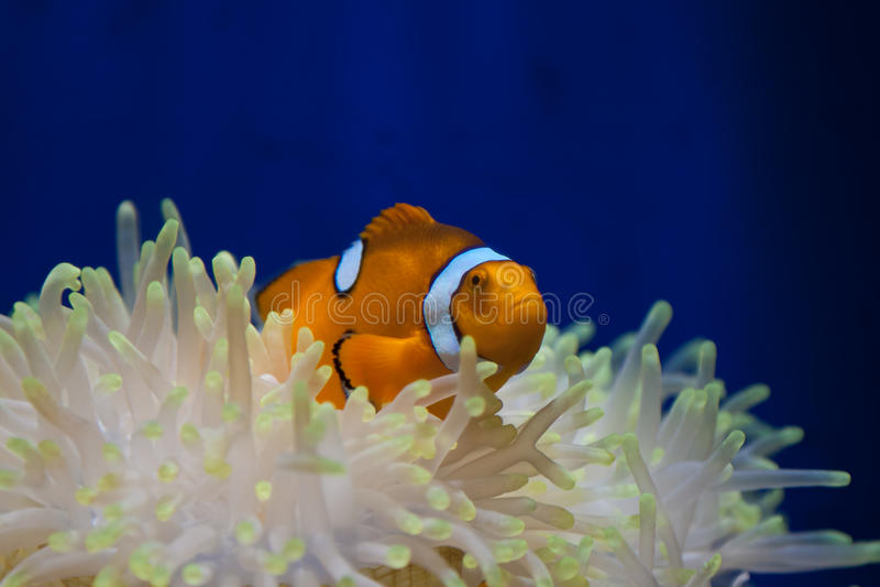 anemonefish小丑 图库摄影