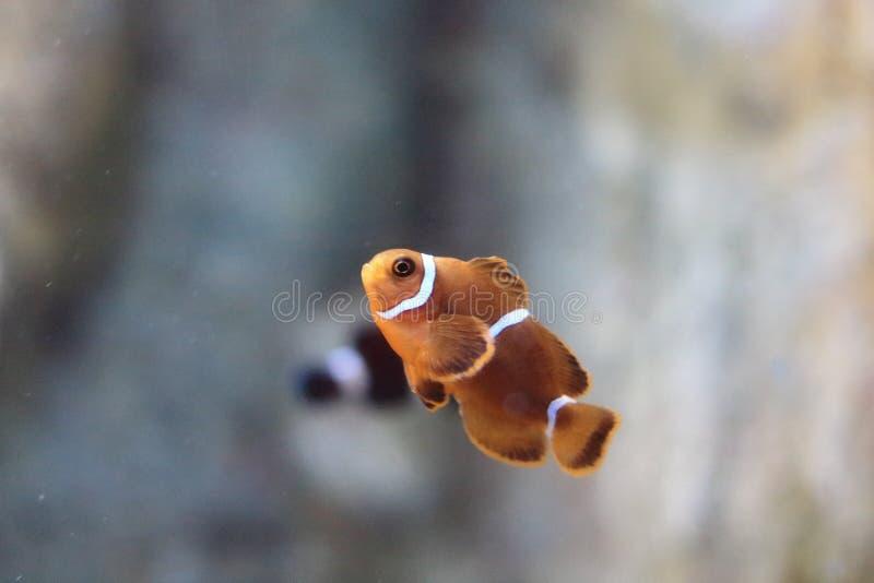 Anemonefish或clownfish 免版税图库摄影