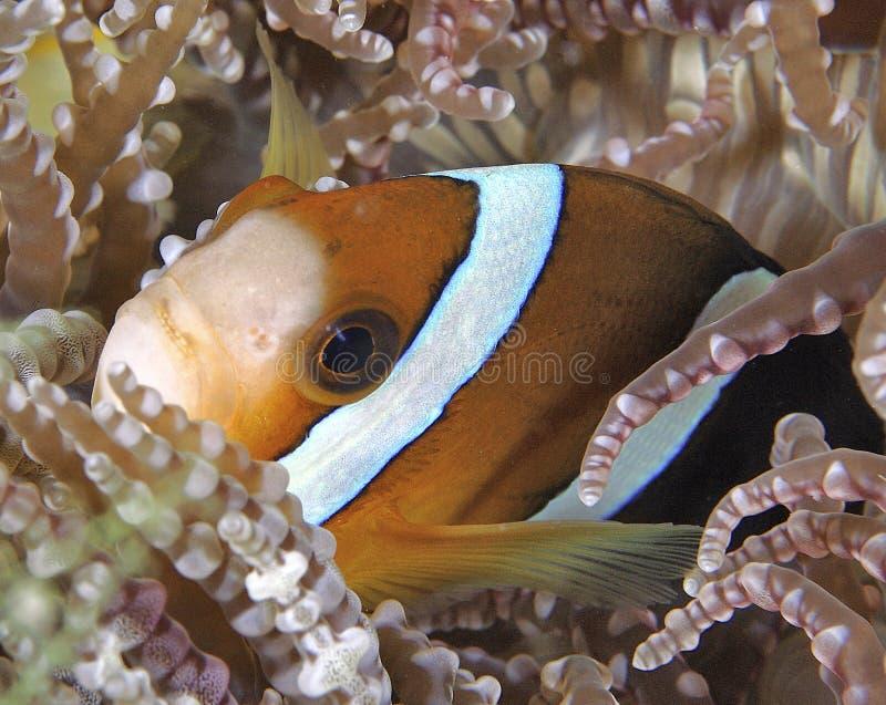 Anemonefish fotografering för bildbyråer